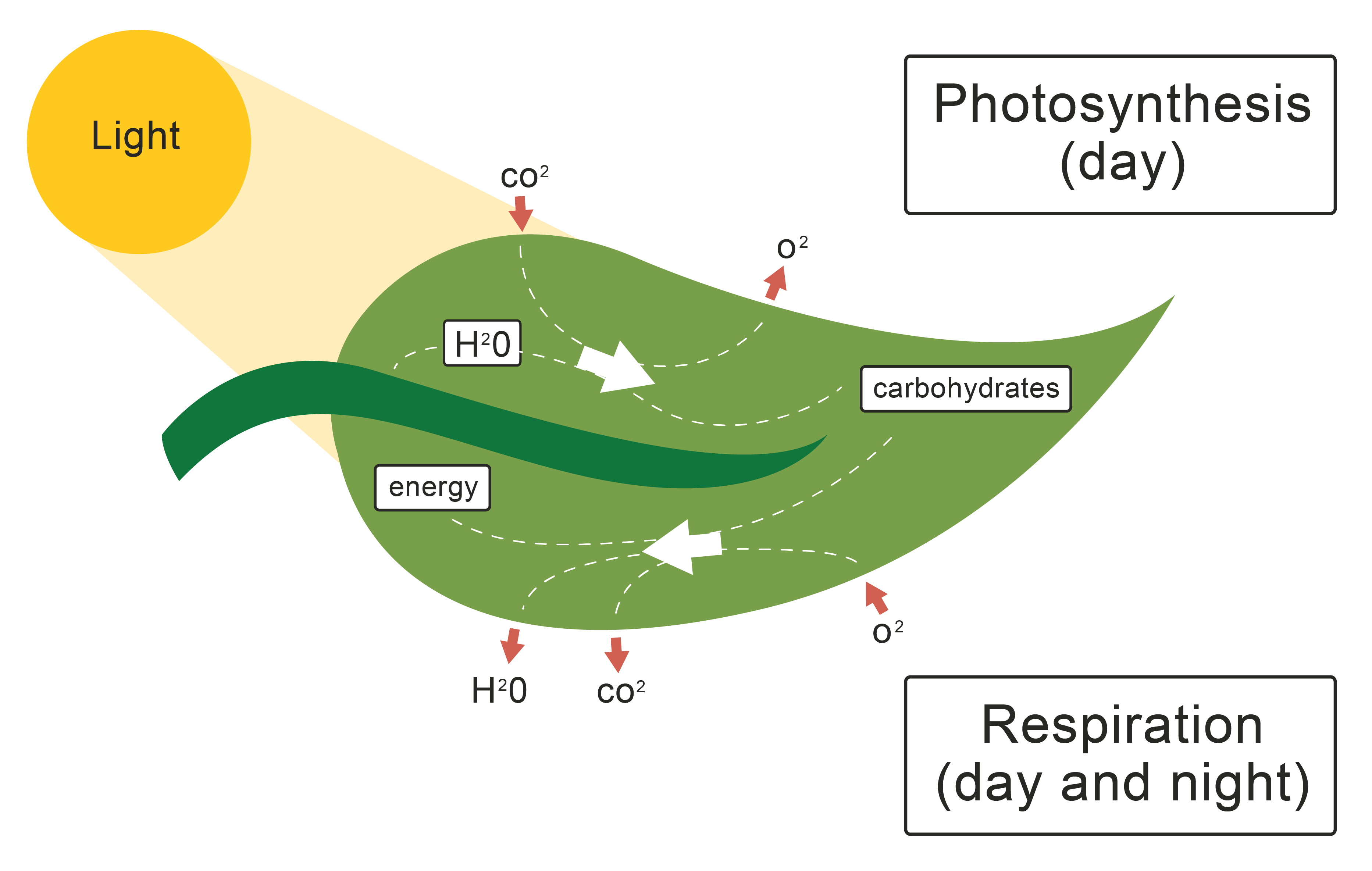 The Role of the Leaf in Photosynthesis Worksheet EdPlace – Photosynthesis Diagram Worksheet