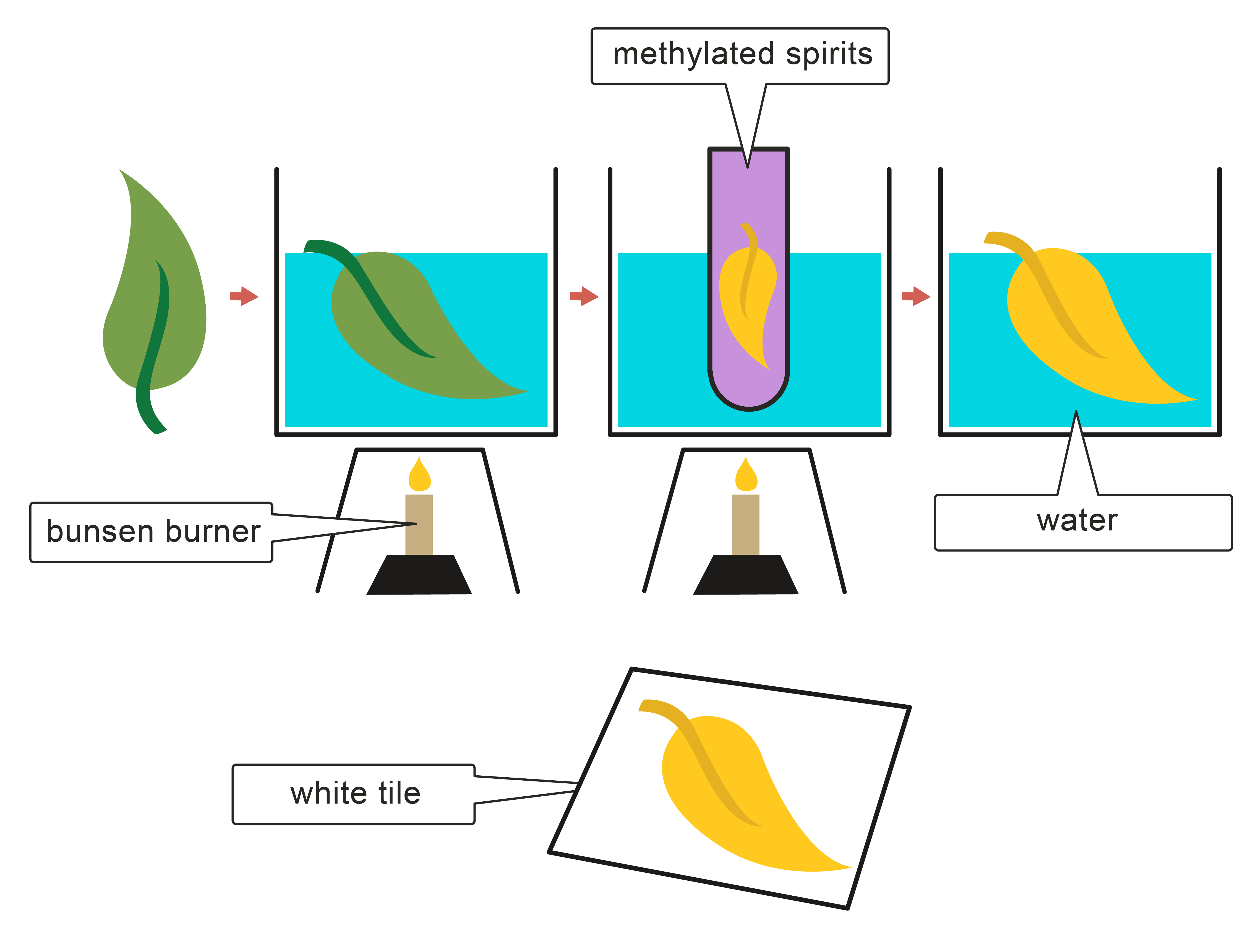 an analysis of the topic of the photosynthesis process in the plant world The process of photosynthesis occurs in a series of enzyme-mediated steps that infiltrate the interior of plant (leaf) disk samples with a solution containing.
