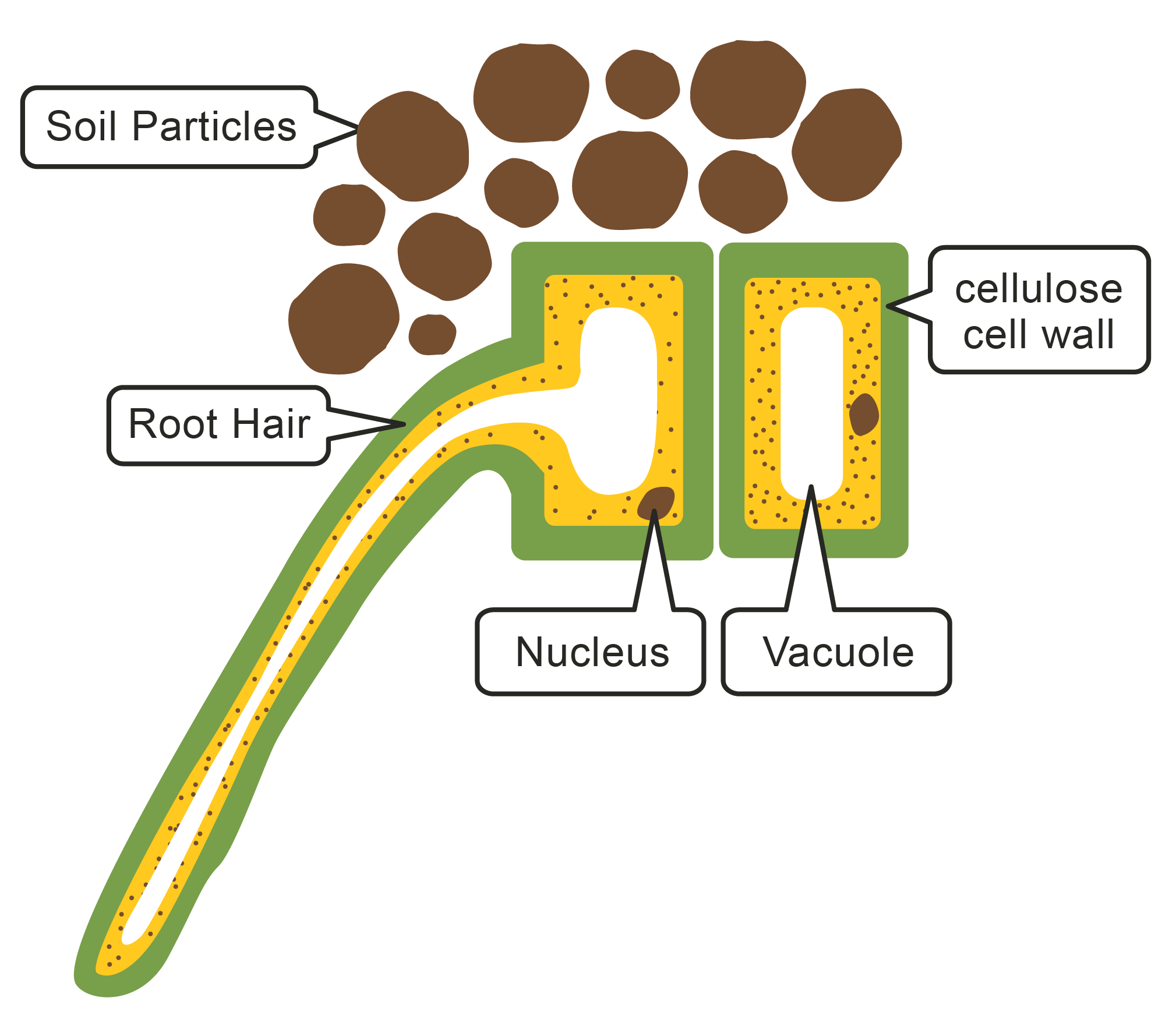 Picture of a root hair cell