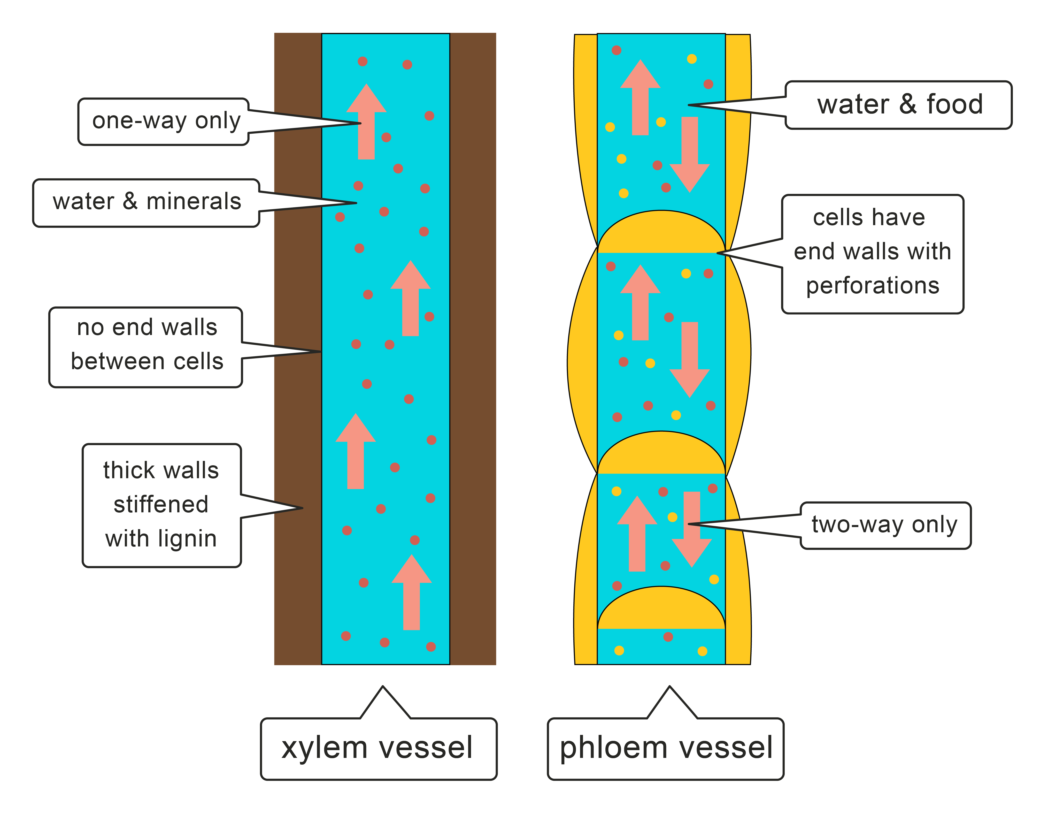 Image of xylem and phloem vessels