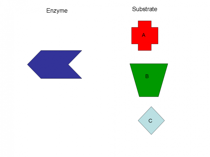 Image of enzyme and three different substrates
