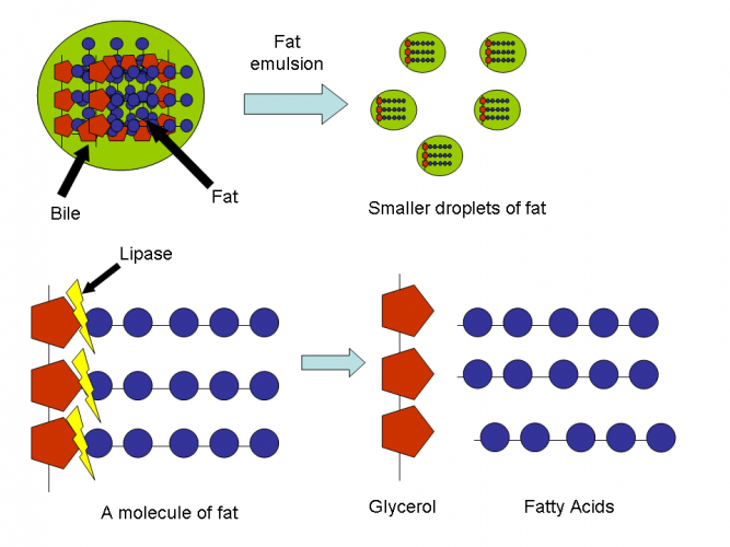 Image of fats being broken down by bile and enzyme lipase
