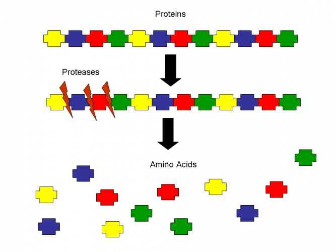 Image of protein into amino acid by protease enzyme