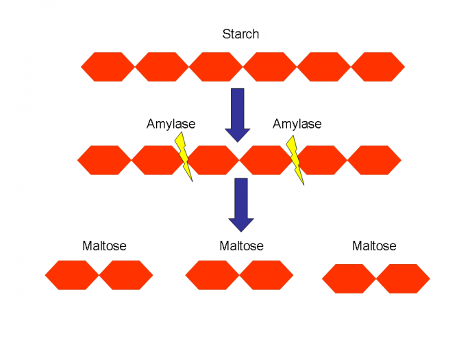 Image of starch broken into maltose by amylase enzyme