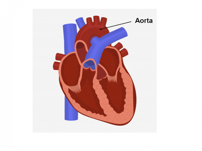Image of the aorta labelled on heart