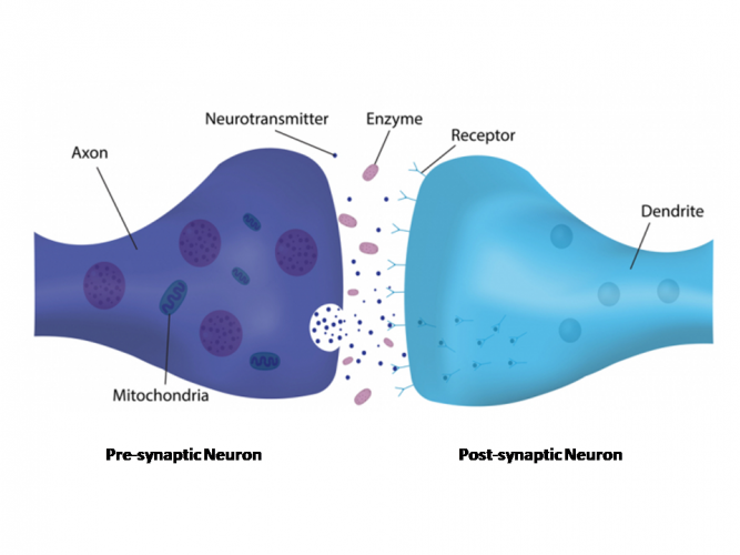 Image of neurons and synapse