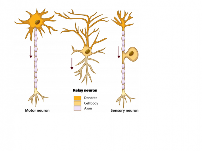Image of different neurones