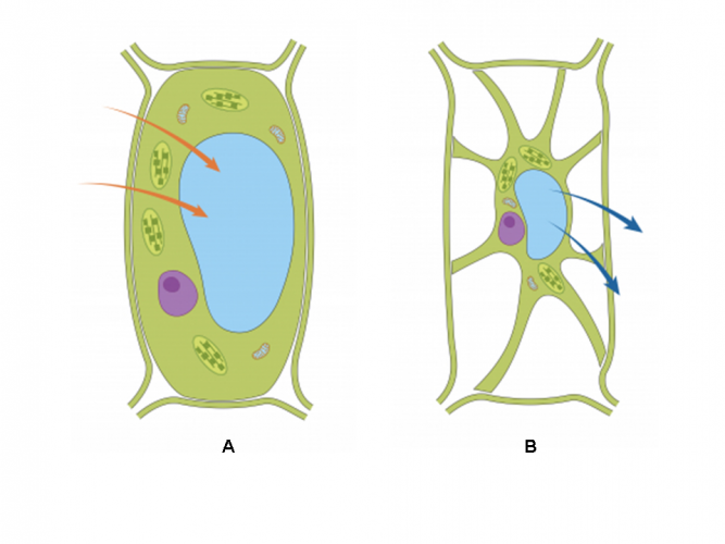 Image of turgid and flaccid plant cell