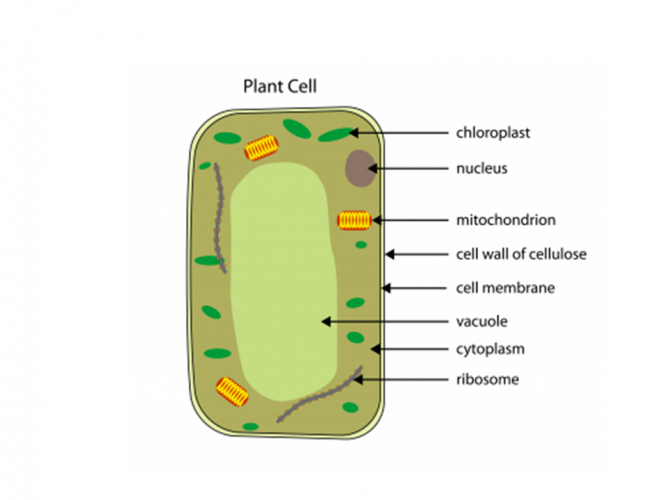 Image of plant cell