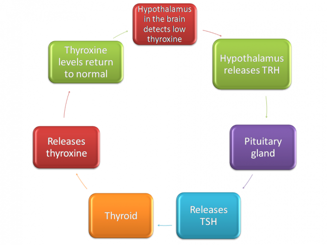 Image of thyroid, thyroxine and negative feedback cycle