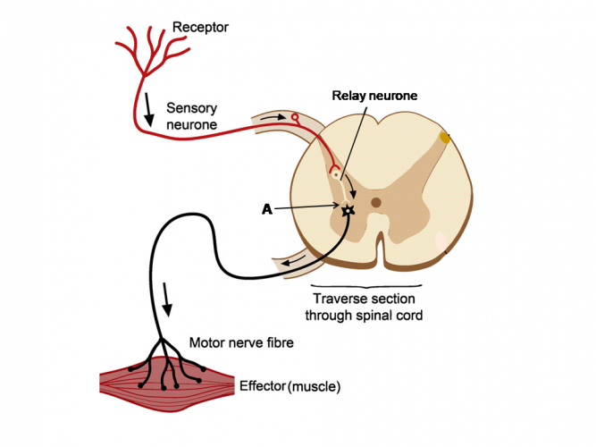 Image of reflex arc and synapse