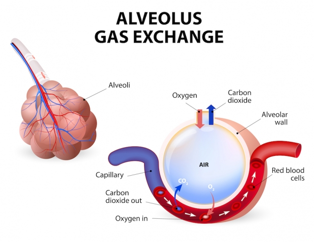 Image of alveolus and gas exchange