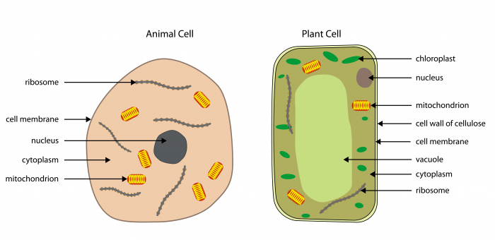 Image of plant and animal cell
