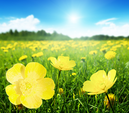 Buttercups in a sunny meadow