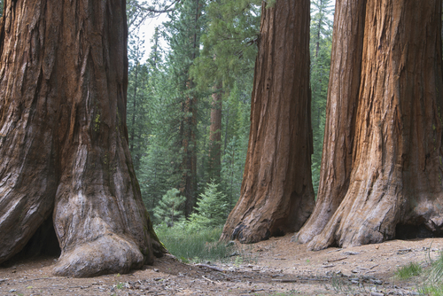 Redwood tree trunks