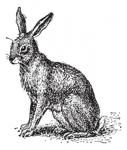 Hare or Lepus sp., vintage engraved illustration. Dictionary of Words and Things - Larive and Fleury - 1895 - stock vector