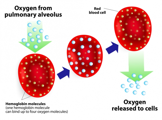 Red blood cells carrying oxygen
