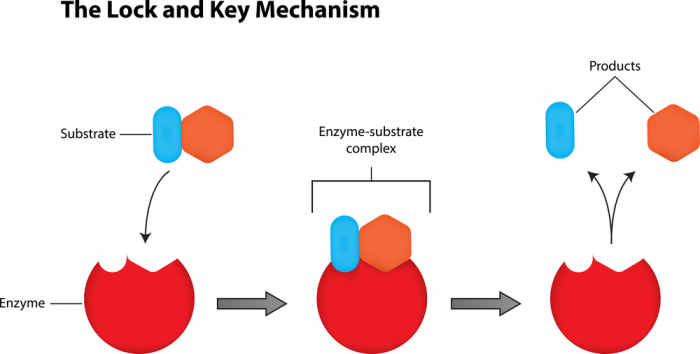 The lock and key structure of enzymes