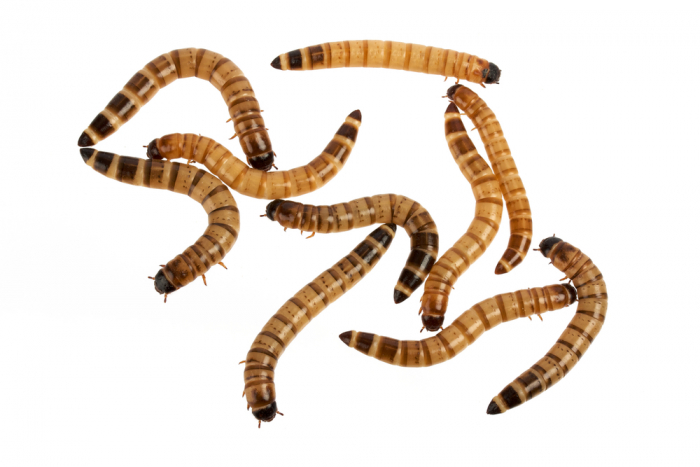 Group of meal worms