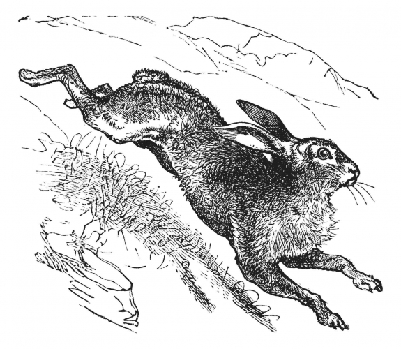 Illustration of a hare