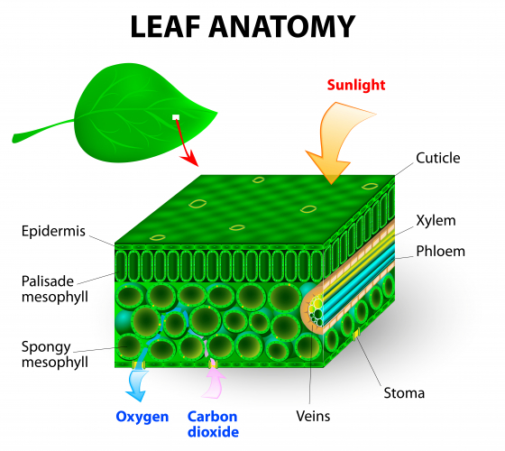 Image of leaf anatomy