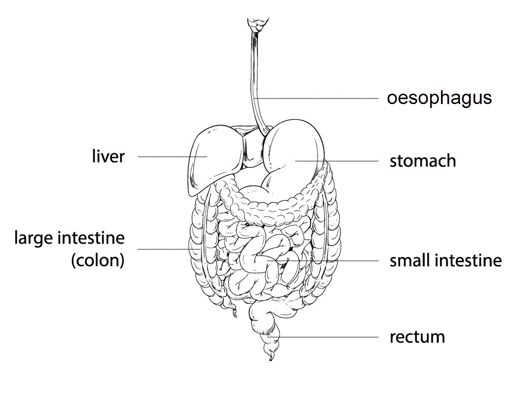 worksheet Digestive System Diagram Worksheet the digestive system worksheet edplace each organ has a specific job to do in this process diagram below shows different organs involved system