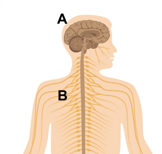 image of the CNS and PNS