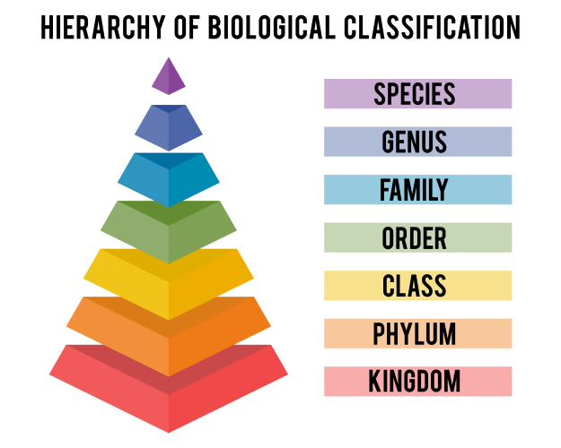 The classification hierarchy