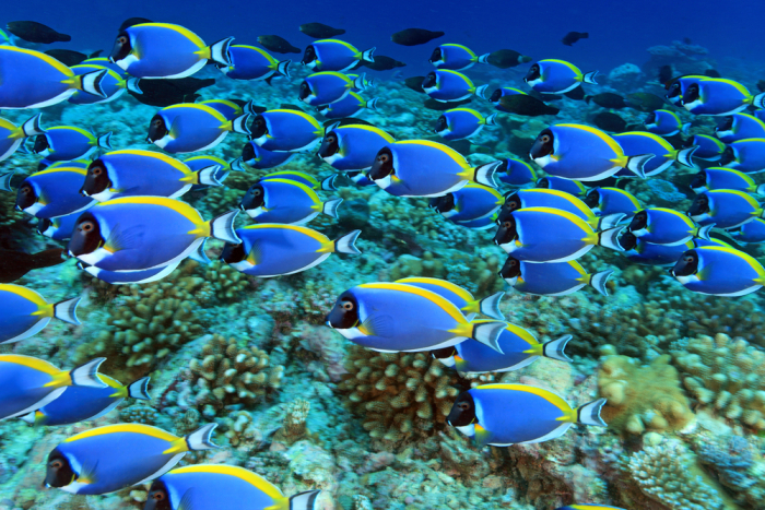 Lots of angel fish in a coral reef