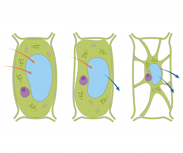 Image of plant cells in different concentrations of water
