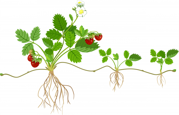 Image of a strawberry plant and runner