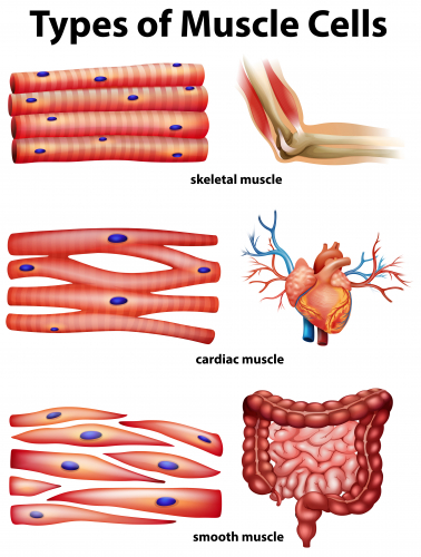 Picture of the three types of muscle cell