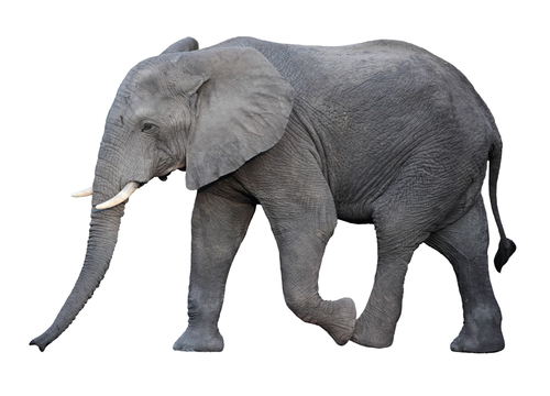 image of an elephant