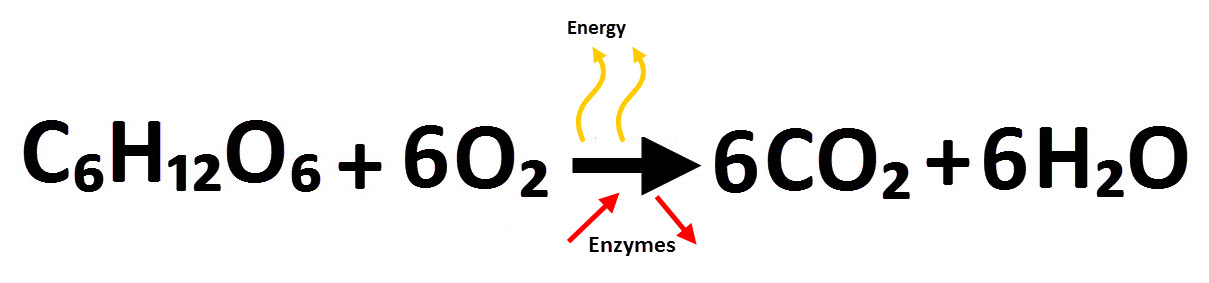 Respiration equation