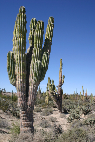 cactus in a desert landscape, northern argentina. - stock photo