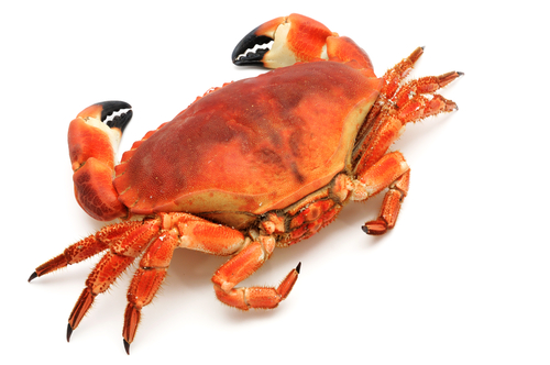 Red crab with black claws