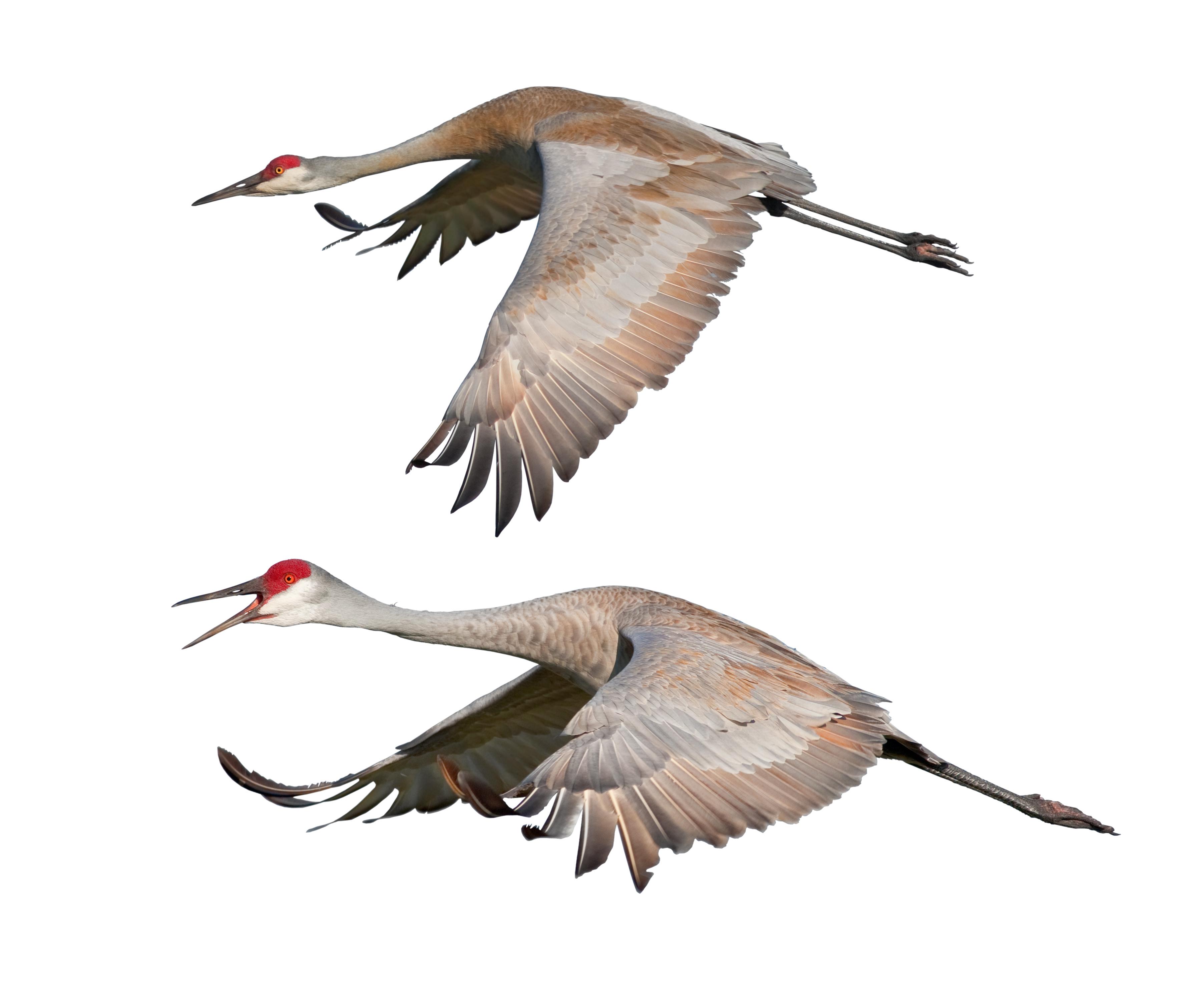 Flying cranes (birds)