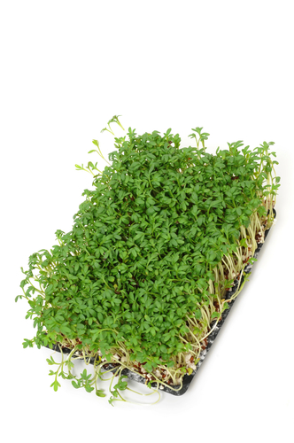 Tray of cress plants