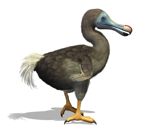 Image of a Dodo