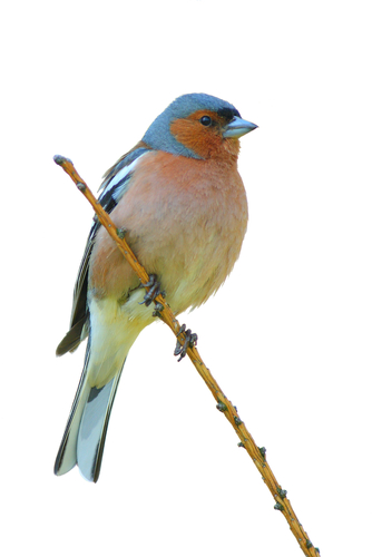 Image of a finch