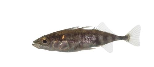 Fish/stickleback
