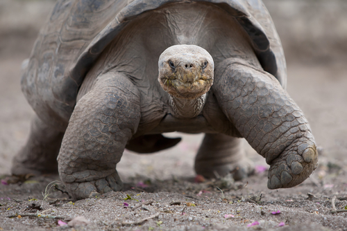 Image of a giant tortoise