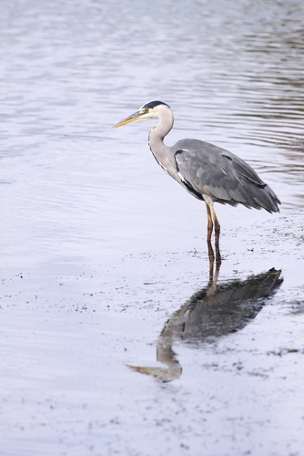 a heron in the water