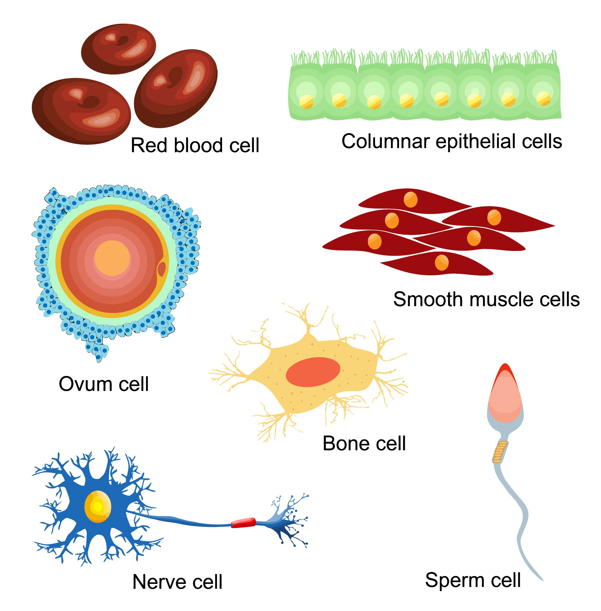 An image showing different types of cells