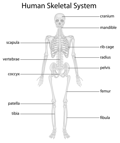 all worksheets » bone worksheets for anatomy - printable, Skeleton