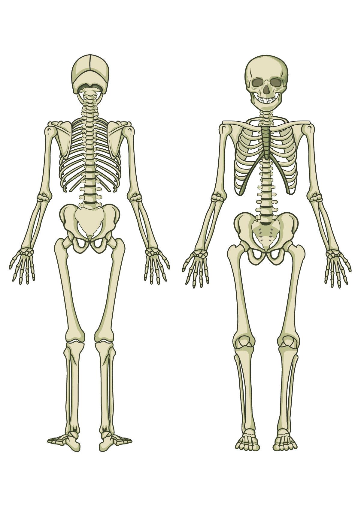 Human Skeleton Joint Diagram Unlabeled Wiring Diagram For Light