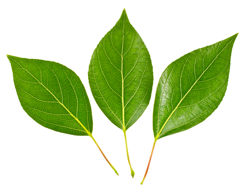 the role of the leaf in photosynthesis worksheet edplace. Black Bedroom Furniture Sets. Home Design Ideas