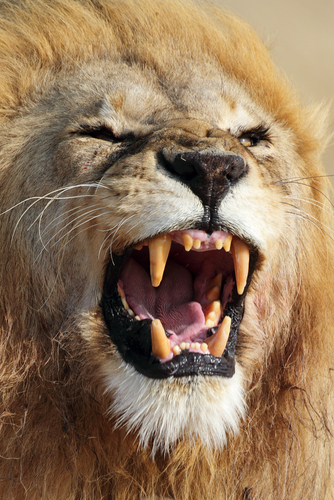 a lion roaring and showing all its teeth