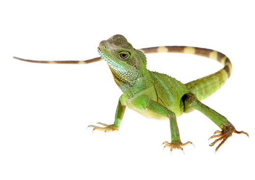 Chinese water dragon on white background picture - stock photo