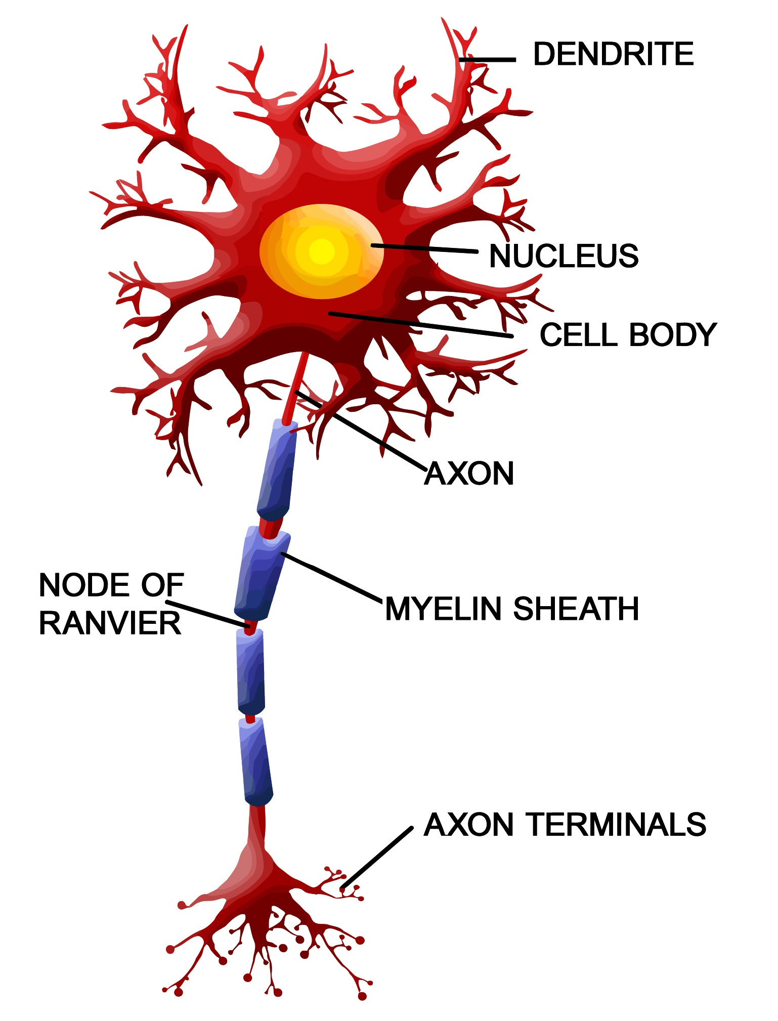 Pin motor neuron on pinterest for What is a motor neuron